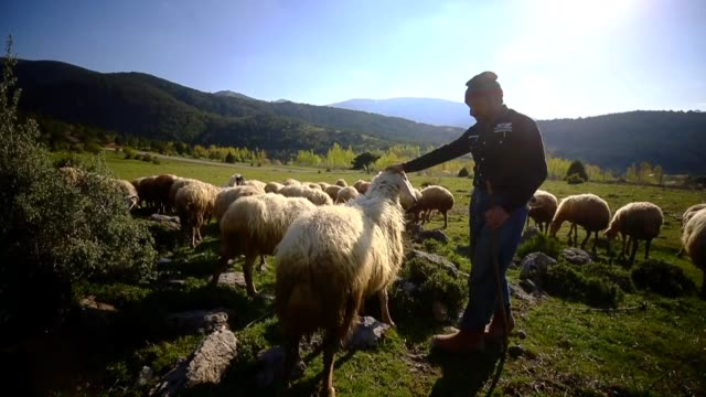 year-old shepherd mevlut kocak, who lives alone in the forest for 10 years around beykavagı pond, went to pasture as the arrival of spring with about... - working animals stock videos & royalty-free footage