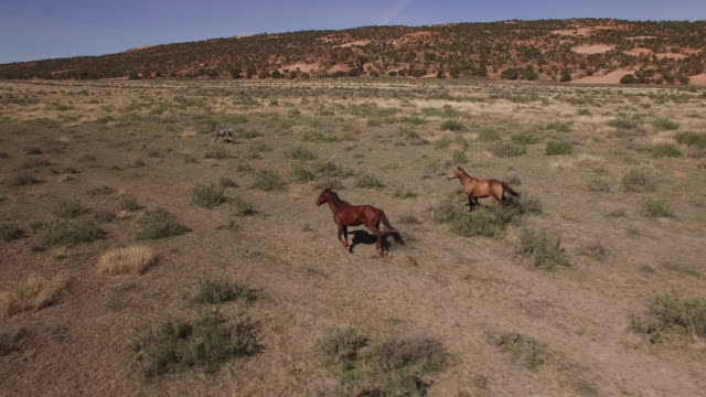 vidéos et rushes de 45degree tracking of wild horses 4k, drone aerial view of wild horses grazing and running near the grand canyon close to the arizona utah border - faune sauvage