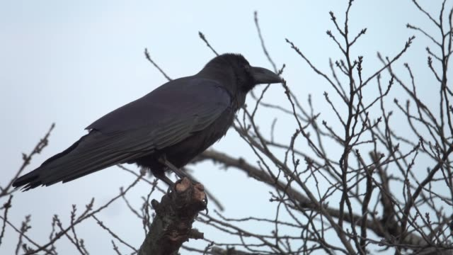 4k: a black crow on tree - raven stock videos & royalty-free footage