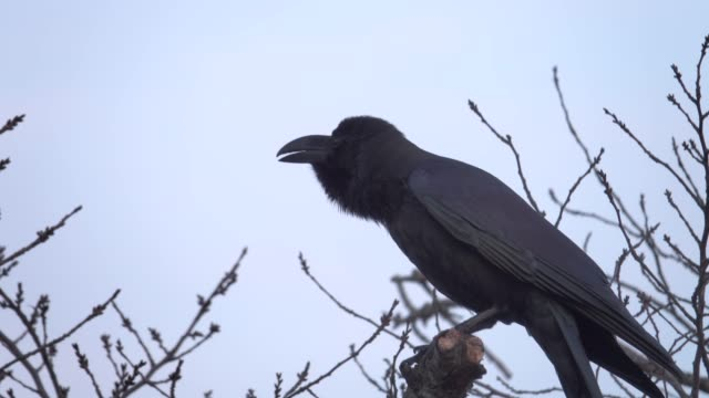 4k: a black crow on tree - bare tree stock videos & royalty-free footage