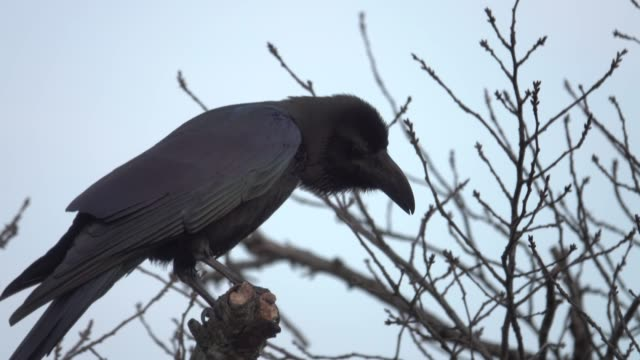 4k: a black crow on tree - limb body part stock videos & royalty-free footage