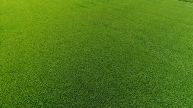 vídeos de stock e filmes b-roll de 4k aerial low level over bright green rice fields - brightly lit