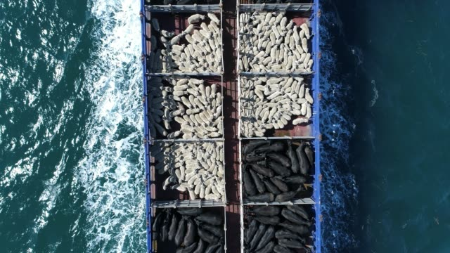 vídeos de stock e filmes b-roll de 4k aerial of ferry at sea, carrying sheep and cattle - brightly lit