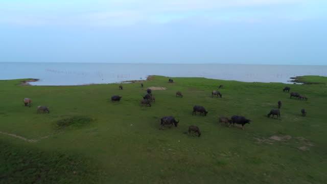vídeos de stock e filmes b-roll de 4k aerial shot fly over a group of buffalo in national park of pattalung, thailand - touro animal macho