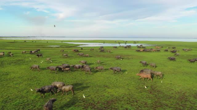 野生の生命のドローンからの4k航空写真多くの水牛は緑の草を放牧し、タレーノイ湖、タッタルン、タイの緑の沼放牧地でトラックを作ります - cattle点の映像素材/bロール