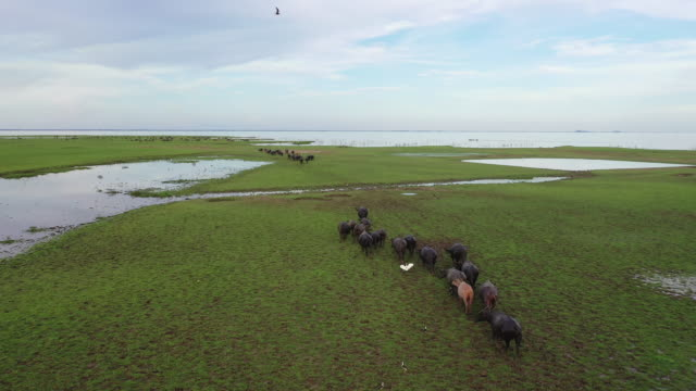 vídeos de stock e filmes b-roll de 4k aerial view from drone of wild lifemany water buffalo grazing green grass and making track at green swamp grazing land at talay noi lake, phatthalung, thailand - búfalo africano