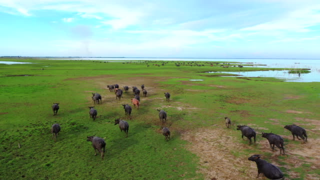 4k aerial view from drone of wild lifemany water buffalo grazing green grass and making track at green swamp grazing land at talay noi lake, phatthalung, thailand - bull animal stock videos & royalty-free footage
