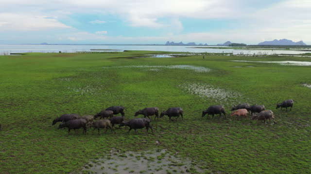 vídeos de stock e filmes b-roll de 4k aerial view from drone of wild lifemany water buffalo grazing green grass and making track at green swamp grazing land at talay noi lake, phatthalung, thailand - touro animal macho
