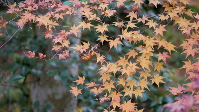 日本の4k美しい秋の色 - カエデ点の映像素材/bロール