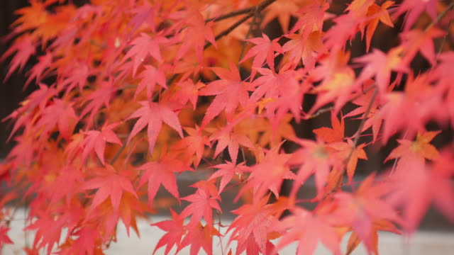 4k beautiful autumn colors in japan - maple leaf stock videos & royalty-free footage