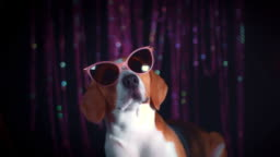 4k Birthday Beagle Dog with Cool Sunglasses