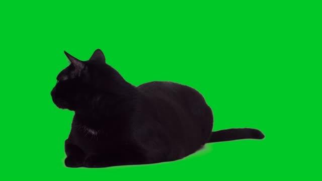 vidéos et rushes de 4k noir chat allongé sur écran vert - fond vert