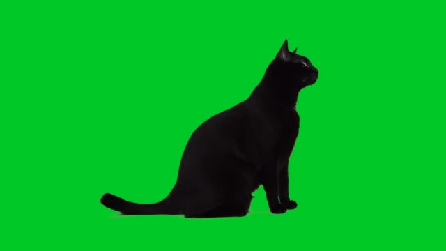 vídeos de stock, filmes e b-roll de 4k negro gato sentado na tela verde - figura para recortar