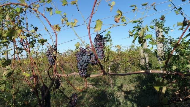 4k CU of black grapes on vines at vineyard, Heathcote, Australia