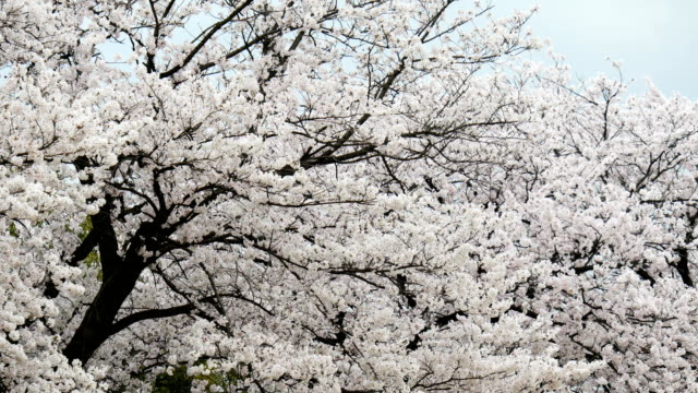 4k cherry blossom trees or sakura in toyama, japan - cherry tree stock videos & royalty-free footage