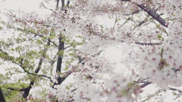 4k : cherry blossom white - earth goddess stock videos & royalty-free footage