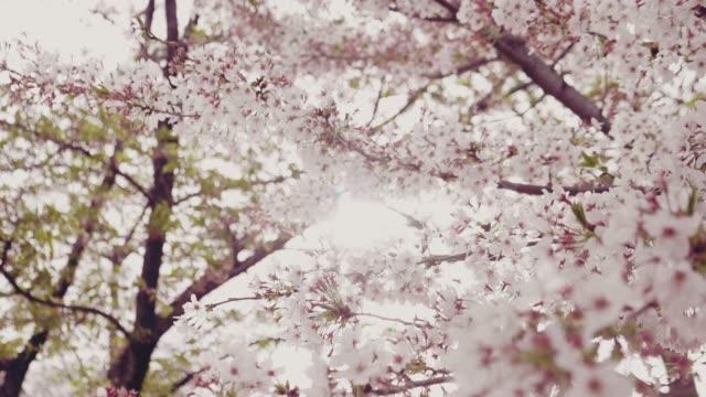 4k: kirschblüte weiß - anmut stock-videos und b-roll-filmmaterial