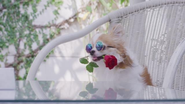 4k, chihuahua rot rose im mund halten - kostümierung stock-videos und b-roll-filmmaterial