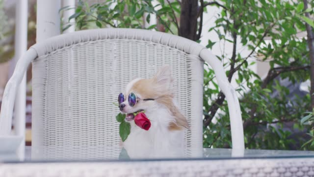 4k , chihuahua holding red rose in mouth - chihuahua dog stock videos and b-roll footage