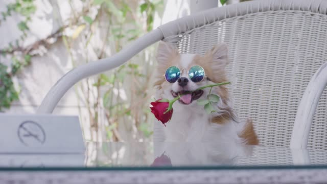 4k ,chihuahua sitting with red rose in mouth - pet clothing stock videos & royalty-free footage