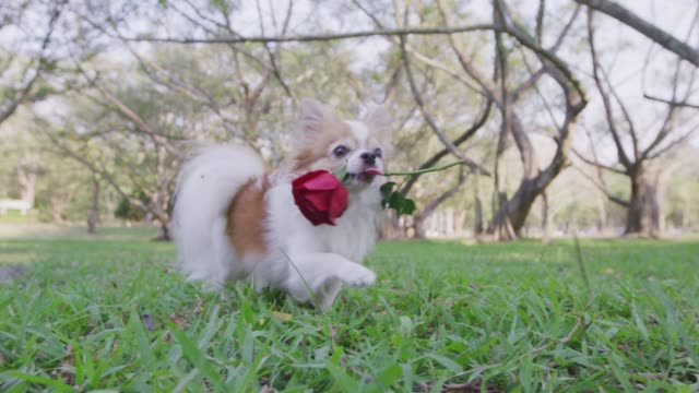 4k ,chihuahua walking with red rose in park - valentine's day stock videos & royalty-free footage