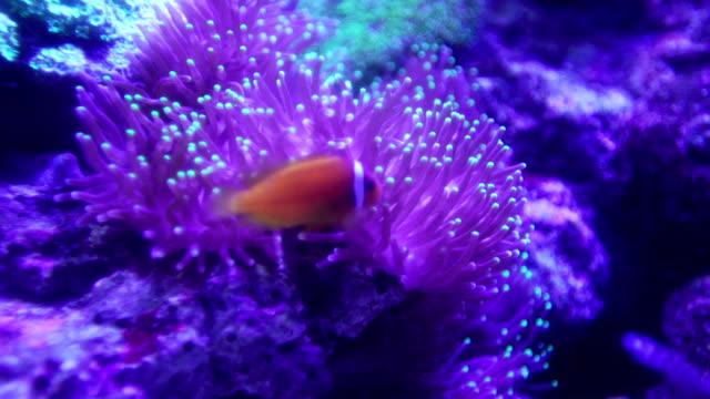 4k clown fish - clown fish stock videos & royalty-free footage