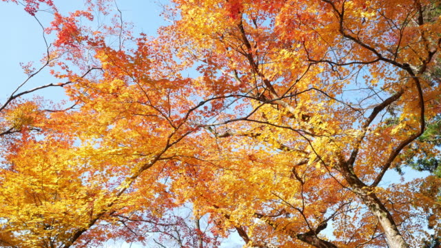 4k colourful maple leaves - maple leaf stock videos and b-roll footage