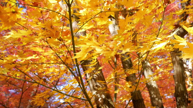 4k colourful maple leaves - maple leaf stock videos & royalty-free footage