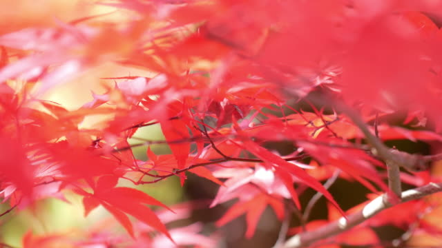 4k colourful maple leaves - autumn leaf color stock videos & royalty-free footage