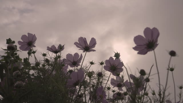 4k, cosmos flowers in the morning. - back lit flower stock videos & royalty-free footage
