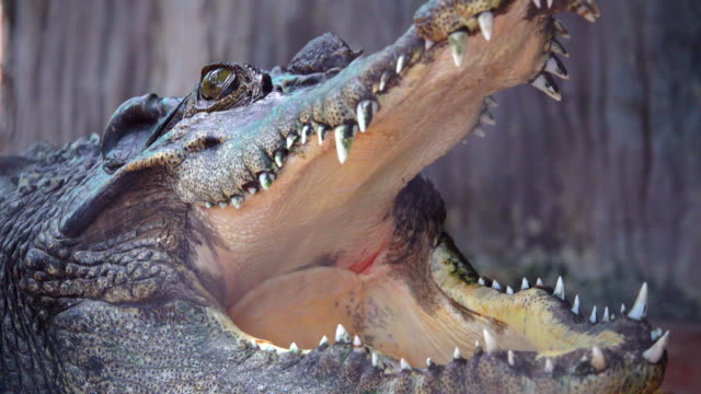 vídeos de stock, filmes e b-roll de 4k: crocodilos - dente animal