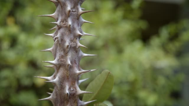 4k dci footage close up of euphorbia milli thorn in the garden - thorn stock videos & royalty-free footage