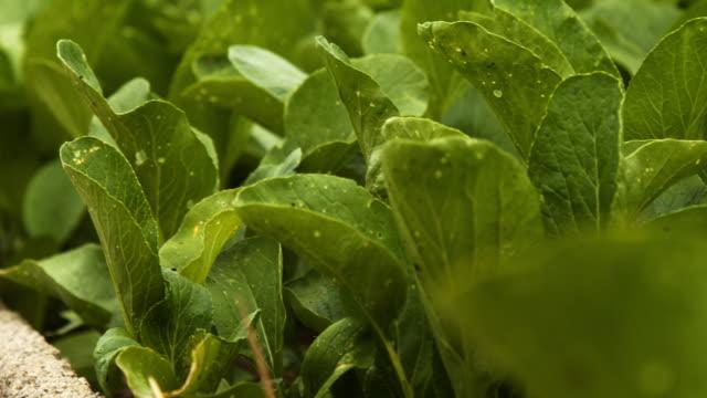 4k dci footage of organic vegetable garden . - celery stock videos & royalty-free footage
