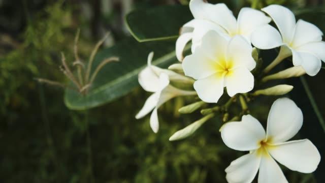 vídeos de stock, filmes e b-roll de imagens de 4k dci da árvore de plumeria no jardim. - taiti