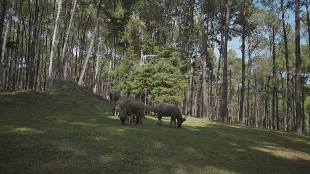 4k dolly shot - bufalo nella foresta, chiang mai (thailandia). - pascolare video stock e b–roll