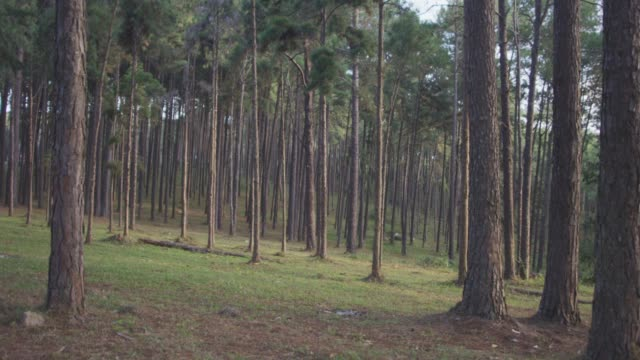vidéos et rushes de 4 k dolly shot, forêt de pins de matin - dolly shot
