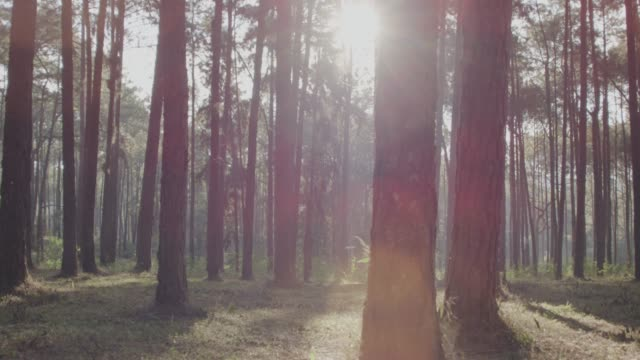 4k dolly shot ,morning pinetrees forest - zona arborea video stock e b–roll