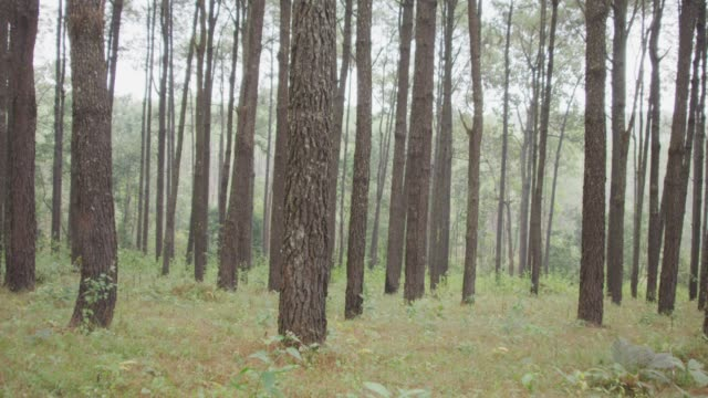 vídeos de stock e filmes b-roll de 4k dolly shot of pine trees forest - pinheiro