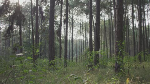 4k dolly shot ,pine trees forest - pine tree stock videos & royalty-free footage