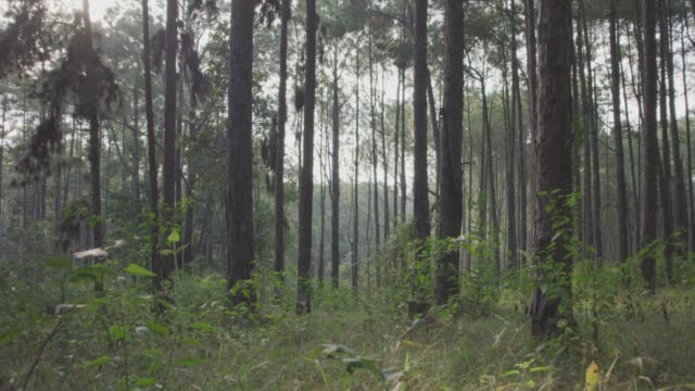 vídeos de stock e filmes b-roll de 4k dolly shot ,pine trees forest - pinheiro