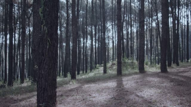 4k dolly shot, winter morning pine trees forest - pine stock videos & royalty-free footage