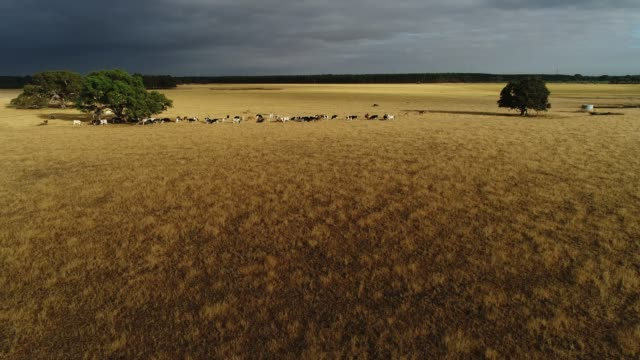 4k drone pov, cattle within golden pasture and storm clouds - richmond upon thames stock-videos und b-roll-filmmaterial
