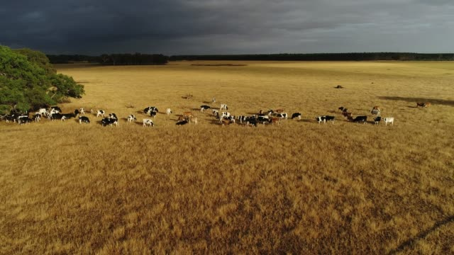 4k drone pov, cattle within golden pasture and storm clouds - ranch stock videos & royalty-free footage