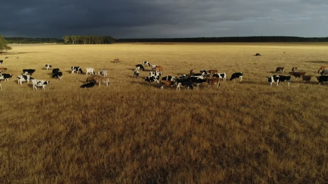 4k drone pov, cattle within golden pasture and storm clouds - cattle stock videos & royalty-free footage