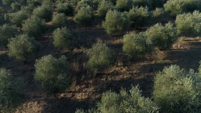 4k drone pov close-up over olive grove - black olive stock videos & royalty-free footage