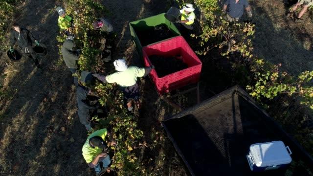 4k drone pov flight over harvest at vineyard, heathcote, australia - agricultural activity stock videos & royalty-free footage