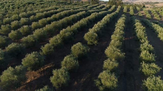 4k drone pov flying over olive grove - harvesting stock videos & royalty-free footage