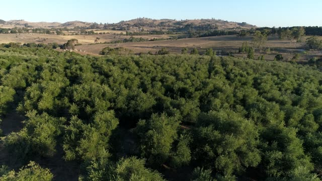 4k drone pov flying over olive grove - mid distance stock videos & royalty-free footage