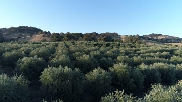 vidéos et rushes de 4k drone pov flying over olive grove - récolter