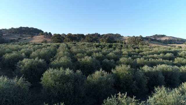 4k drone POV flying over olive grove